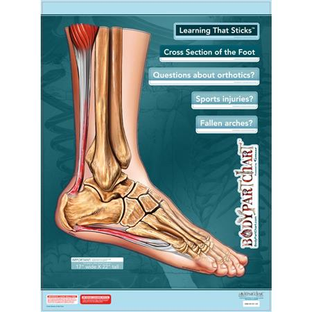Buy Bodypartchart Cross Sections Of The Foot 175 X 22 Unlabeled
