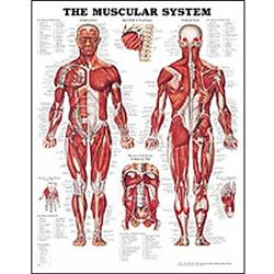 Anatomy charts posters for sale human anatomical charts