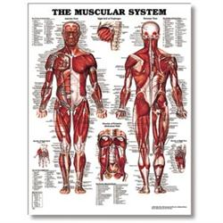 The Male Muscular System Anatomical Poster 20' X 26' styrene