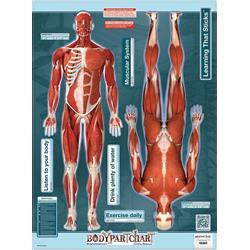 BodyPartChart Muscles Front And Rear View - Wall Decal