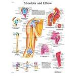Anatomical Chart - Shoulder & Elbow - Laminated