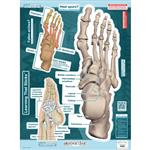 "BodyPartChart™ Ankle and Foot 19"" x 25.5"""