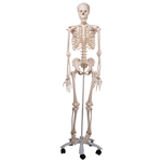 Stan-Standard Skeleton on Pelvic Roller Stand