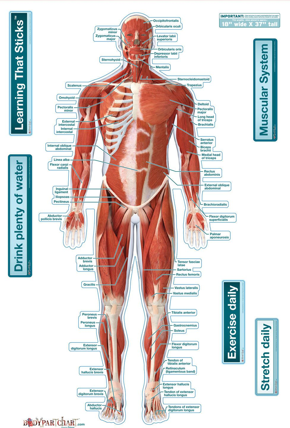 bodypartchart muscular system front labeled