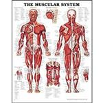 Anatomical Charts & Models