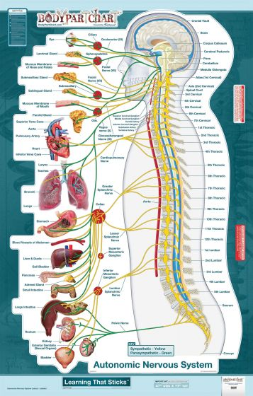 BodyPart Chart Autonomic Nervous System-Wall Decal
