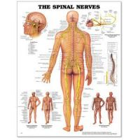 """Spinal Nerves Poster 20"""" X 26"""" Styrene"""