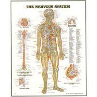 Chart Nervous System 20X26' Styrene Plastic