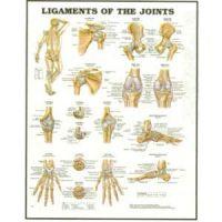 Ligaments Chart