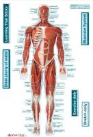 Bodyparrchart Muscular System - Front Labeled