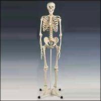 Model Full Skeleton W/Stand
