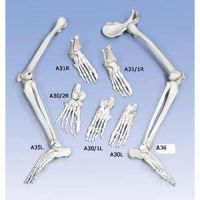 Left Foot & Ankle With Tibia And Fibula