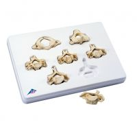 Cervical Vertebrae-Set Of 7